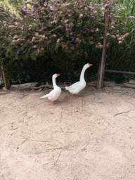 Casal de gansos