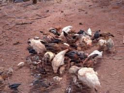 Vendo galinha
