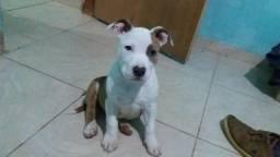 América steffordshire terrier