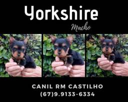 Yorkshire macho filhote