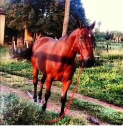 Cavalo leia anuncio