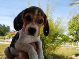 Beagle fêmeas disponíveis, valor especial de natal!!
