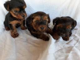Yorkshire Terrier/ Fofos Filhotes /Fone e Whats