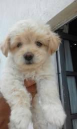 Vende-se filhote de poodle(2 meses)