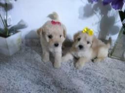 Lindos filhotes de Poodle Toy