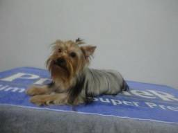 Yorkshire Terrier Wobetokennel
