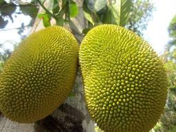 Jaca dura fruta (verde ou Madura)