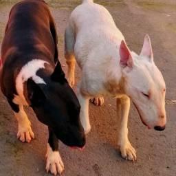 Filhotes Bull terrier inglês puros