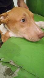 pit bull red nouse 4 meses