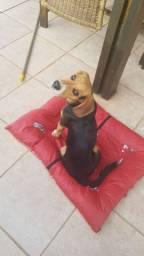 Cão Beagle com pedigree