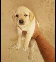Labrador chocolate\ amarelo\ preto, machos e fêmeas com garantias e suportes exclusivos