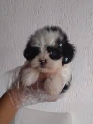 Lhasa Apso Fofuras em filhotes lindos !!!