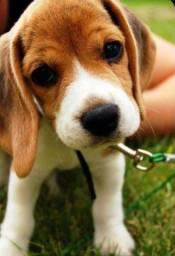 Beagle filhotes super companheiros!