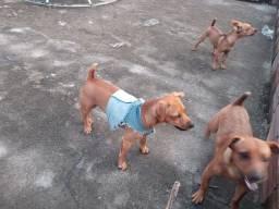 Vendo cachorro  pincher 3