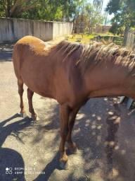 Cavalo de 6 anos cavalo manso
