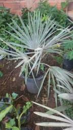 Mudas de Palmeira Azul