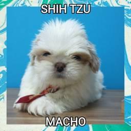 Shih Tzu macho