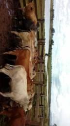 Novilhas, todas prenhas de touro registrados nelore