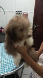 Poodle com 2 meses