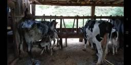 40 Vacas e Novilhas amojando