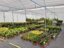Plantas Ornamentais. Direto do produtor