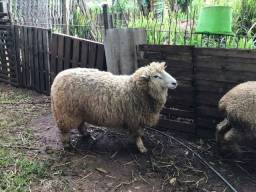 Lote 3 ovelhas e 1 carneiro