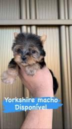 Yorkshire micro macho