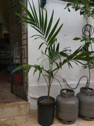 Mudas palmeira Havaí