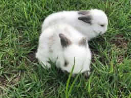 Coelhos mini Fuzzy Lop