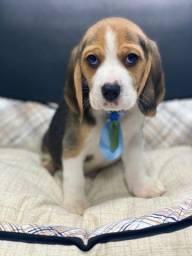 Lindos babys de beagle tricolor