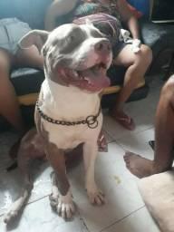 Padreador disponível. American pitbull Terrier Lilac- Red nose.