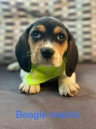 Beagle macho, lindos com preços incríveis