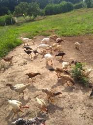 Vendo frangos e frangas
