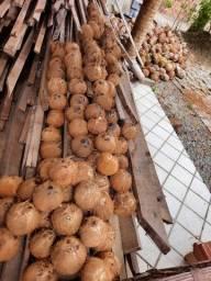 Coco seco 1,00 c casca