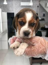 Beagle filhotes lindos pronta entrega com