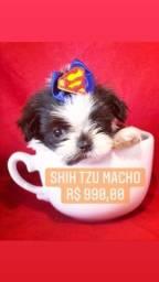 Super Promoção! Shih Tzu Macho R$990