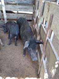 Vendemos porcos no varejo e atacado