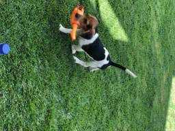 Vendo Beagle macho
