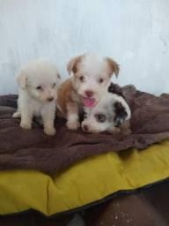 Filhotes de poodle macho e fêmea