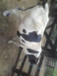 Vaca leite