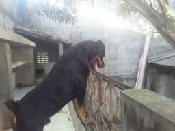 Rottweiler pra CRUZA. * PROCURA SE NAMORADA*