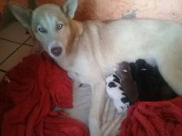 Reserve o seu filhote Husky siberiano com Bouder Collier