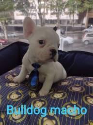 Bulldog fêmea, fofos em promoção especial