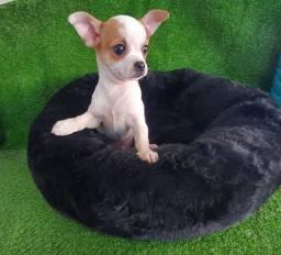 Chihuahua - Assistência veterinária 24Hs