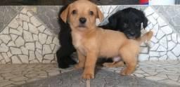 Cachorro  Filhotes de poodle