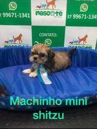 Mini Shitzu macho