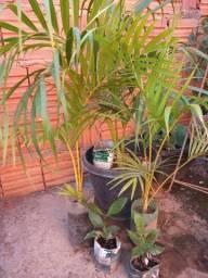 Vendo planta palmeira