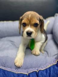 Beagle filhotes, ótima opção para a família!