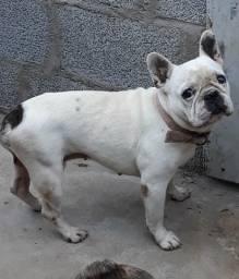 Bulldog francês monta