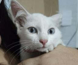 Procura-se gata branca de olhos azuis
